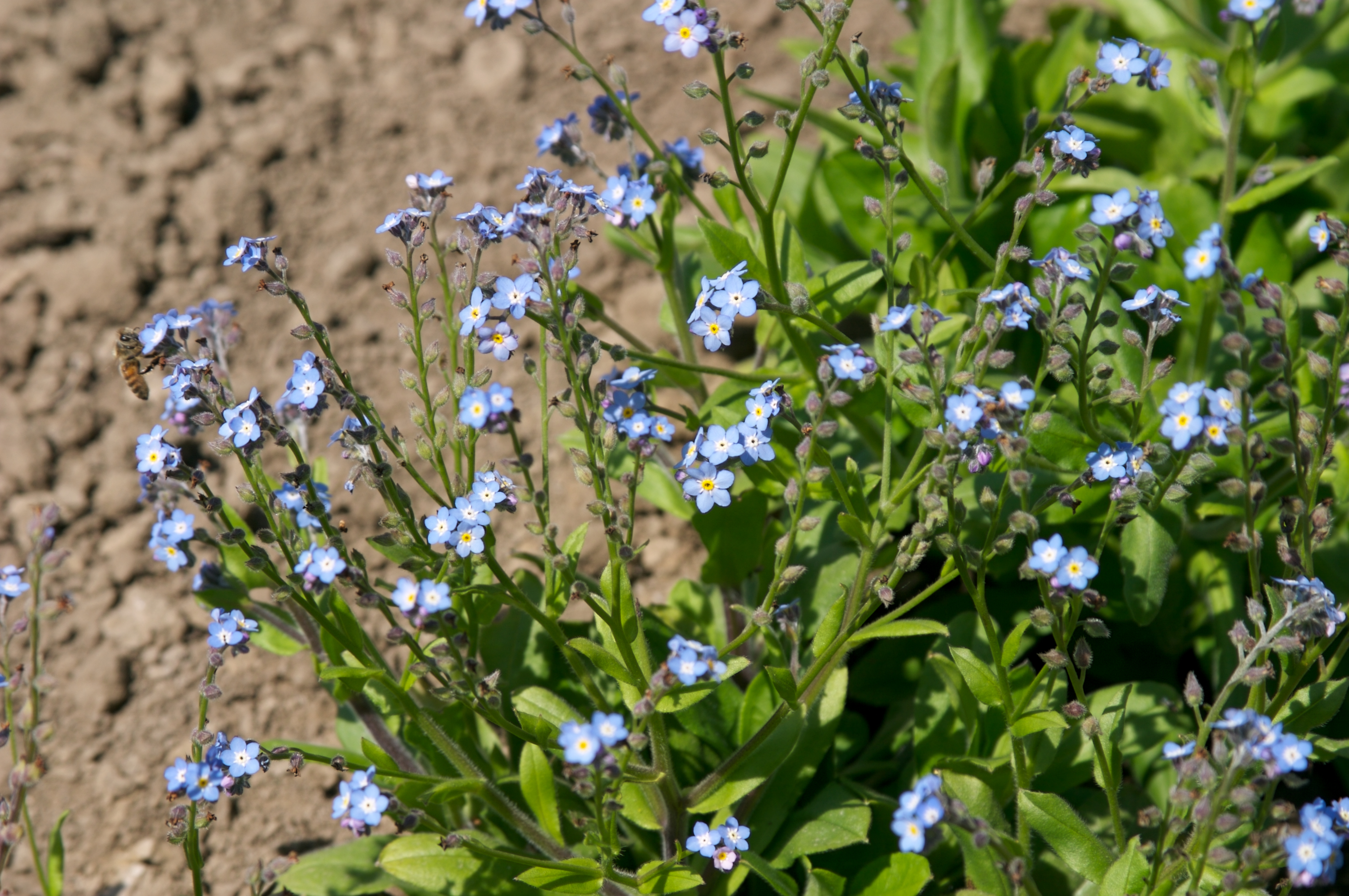 Forget Me Not Myosotis Alpestris Sylvatica